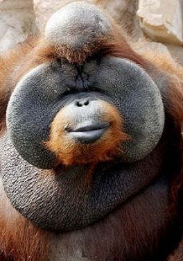 Funny pictures of fat monkeys Fat Monkey Wallpaper